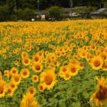 兵庫県 ひまわり畑とルート65 女子ツーリング