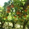 滋賀県フルーツパーク洋平に梨狩りへ