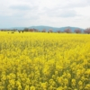 一面の菜の花、大森末広堂、奧明日香さらら、奈良を満喫